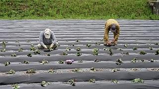 安納芋の苗植え